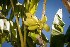 Yellow banana cluster Stock Images