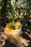Yellow banana, fruit, useful, easy to eat for health stock photography