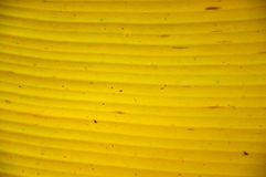 Yellow banana  leaf Stock Photography