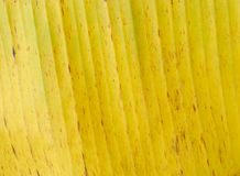 Yellow banana leaf Royalty Free Stock Photography