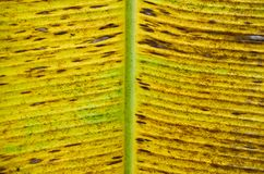 Yellow banana leaf texture Royalty Free Stock Images