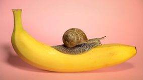 Yellow banana with snail on a pink background stock video footage