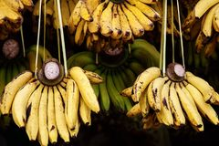 Yellow bananas on local market. Plantains or cooking banana for sell. Ripe raw banana bunch in sunlight Stock Photo