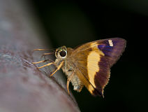 Yellow-banded Awl butterfly Royalty Free Stock Photo