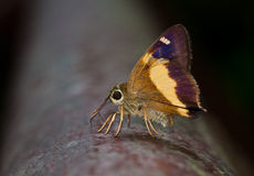 Yellow-banded Awl butterfly Stock Photos
