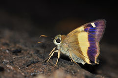 Yellow banded Awl butterfly nature. From thailand background Royalty Free Stock Photos