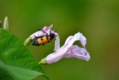 Yellow Banded Beetle on Bush Morning Glory Flowers Stock Image