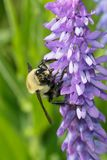 Yellow-banded Bumblebee Stock Photo