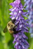 Yellow-banded Bumblebee Stock Image