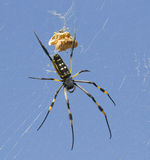 Yellow Banded Golden Orb Spider - KNP Stock Photography