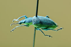 Yellow banded leaf weevil Stock Photography