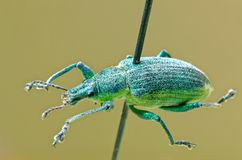 Yellow banded leaf weevil Royalty Free Stock Images