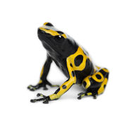 Yellow-Banded Poison Dart Frog. Also known as a Yellow-Headed Poison Dart Frog and Bumblebee Poison Frog, Dendrobates leucomelas, against white background Stock Photography