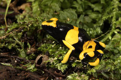 Yellow-banded poison dart frog. In moss Royalty Free Stock Photography