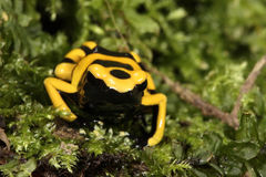 Yellow-banded poison dart frog Royalty Free Stock Photos