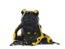 Yellow-Banded Poison Dart Frog. Also known as a Yellow-Headed Poison Dart Frog and Bumblebee Poison Frog, Dendrobates leucomelas, portrait against white Stock Photography