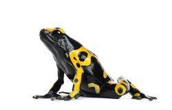 Yellow-Banded Poison Dart Frog. Also known as a Yellow-Headed Poison Dart Frog and Bumblebee Poison Frog, Dendrobates leucomelas, against white background stock image