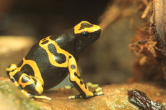 Yellow-banded poison dart frog. The sitting yellow-banded poison dart frog Stock Photos
