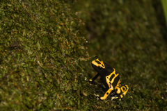 Yellow-banded Poison Dart Frog. A close up of a yellow-banded poison dart frog Royalty Free Stock Photography
