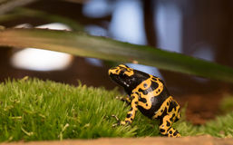 Yellow-banded poison dart frog Royalty Free Stock Photography