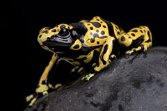 Yellow-banded poison dart frog (Dendrobates leucomelas). The yellow-banded poison dart frog (Dendrobates leucomelas) has bright warning colors to deter any would Stock Photos