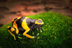Yellow banded poison dart frog. Dendrobates leucomelas a poisonous animal from the tropical Amazon rain forest of Venezuela Royalty Free Stock Image