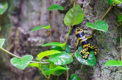 Yellow-banded poison dart frog (Dendrobates leucomelas) at tropical forest pavilion royalty free stock images