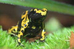 Yellow-banded poison dart frog Stock Photos