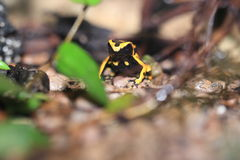 Yellow-banded poison dart frog. On the ground Stock Image