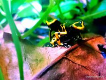 Yellow banded poison dart frog. Leucomela poison dart frogs are found wild in South America. Their bright colors tell predators to stay away as they can be Stock Photo