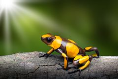 Yellow banded poison dart frog, Oophaga histrionica royalty free stock photography