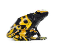 Yellow-Banded Poison Dart Frogs. Also known as a Yellow-Headed Poison Dart Frog and Bumblebee Poison Frog, Dendrobates leucomelas, mother with young, against Stock Photos