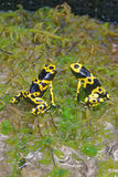Yellow-banded poison dart frogs. Yellow-banded poison dart frog (Dendrobates leucomelas), also known as yellow-headed poison dart frog or bumblebee poison frog Royalty Free Stock Photography