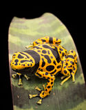 Yellow banded poison frog Royalty Free Stock Photos