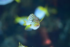 Yellow-banded Sweetlips fish portrait Royalty Free Stock Photo