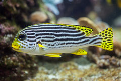 Yellow-banded sweetlips Plectorhinchus lineatus. Stock Photography
