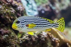 Yellow-banded sweetlips Plectorhinchus lineatus. Royalty Free Stock Photo