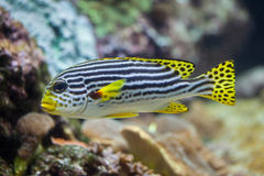 Yellow-banded sweetlips Plectorhinchus lineatus. Stock Photos