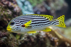 Yellow-banded sweetlips Plectorhinchus lineatus. Royalty Free Stock Image