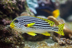 Yellow-banded sweetlips Plectorhinchus lineatus. Royalty Free Stock Photos