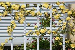 Yellow Banksia rose Royalty Free Stock Image
