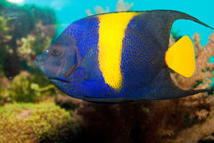 Yellow-Bar or Half Moon Angelfish stock photos