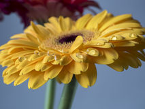 Yellow Barberton daisy,Gerbera jamesonii Royalty Free Stock Image