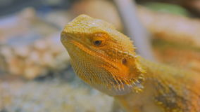 Yellow barded dragon lizard at zoo stock video footage