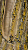 Yellow bark. Cracked yellow bark background texture Royalty Free Stock Images