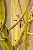 Yellow bark willow branches Stock Image