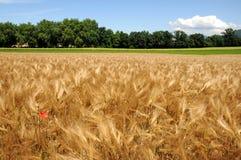 Yellow barley field stock image