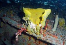 Yellow Barrel Coral royalty free stock image