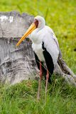 A yellow beak stork. The yellow beak stork stands on the grassland still. It is a big size bird of Africa royalty free stock image