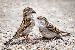 Injured Youngling Sparrow And Its Parent. Photograph of youngling, yellow-beak Sparrow and its parent - interacting eye to eye Stock Image